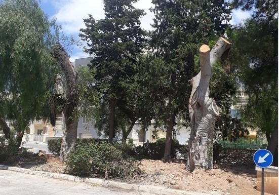 Balzan-tree-replanted