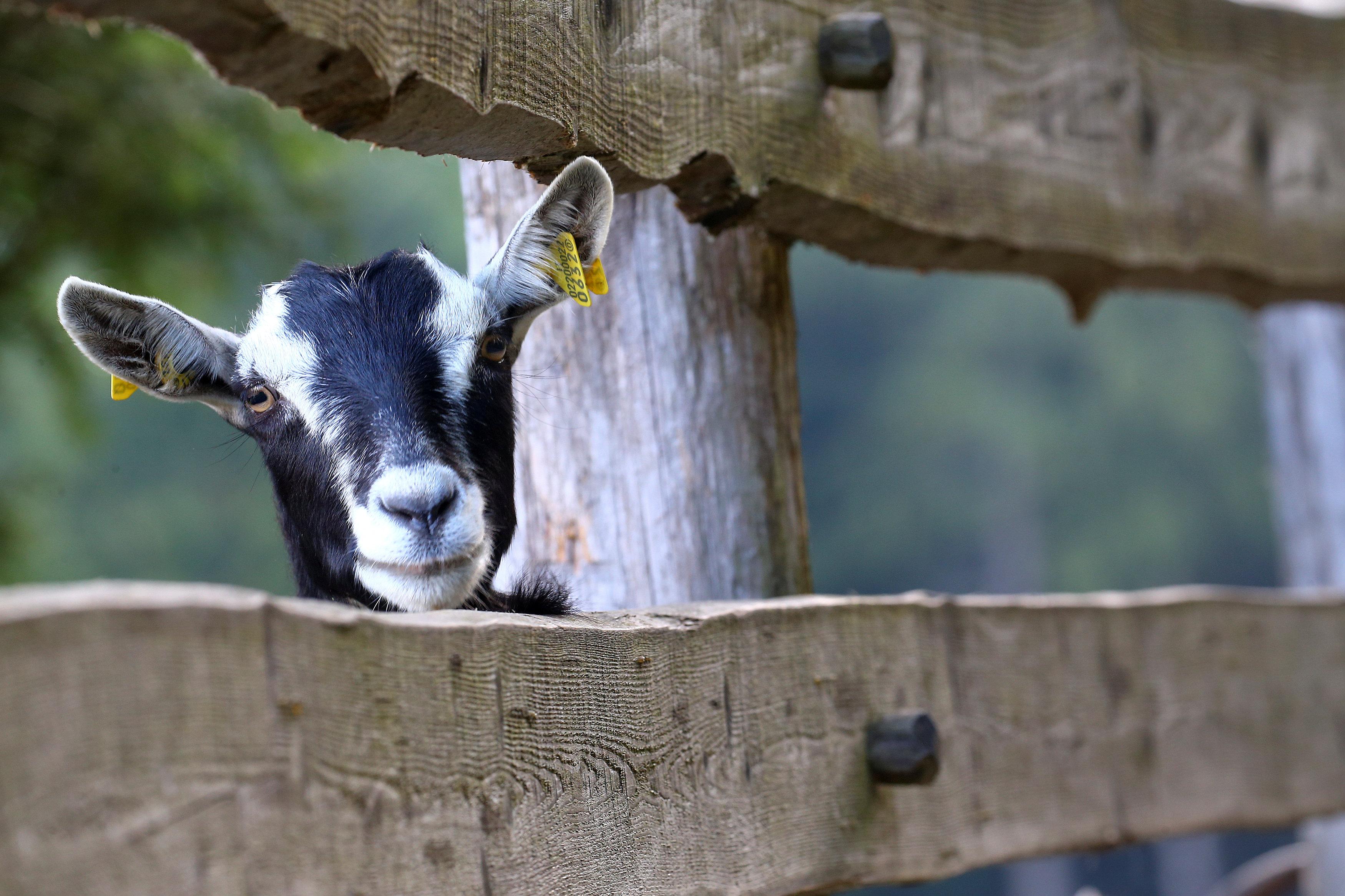 A Mochena goat is seen at the Ethiopian Agitu Idea Gudeta stable in Valle dei Mocheni near Trento