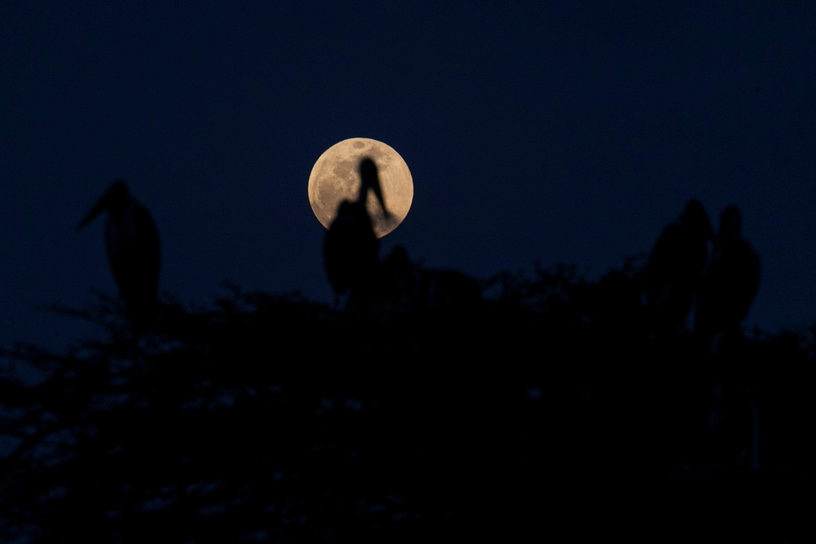 A full moon rises over Marabou storks nesting in a tree in Nairobi