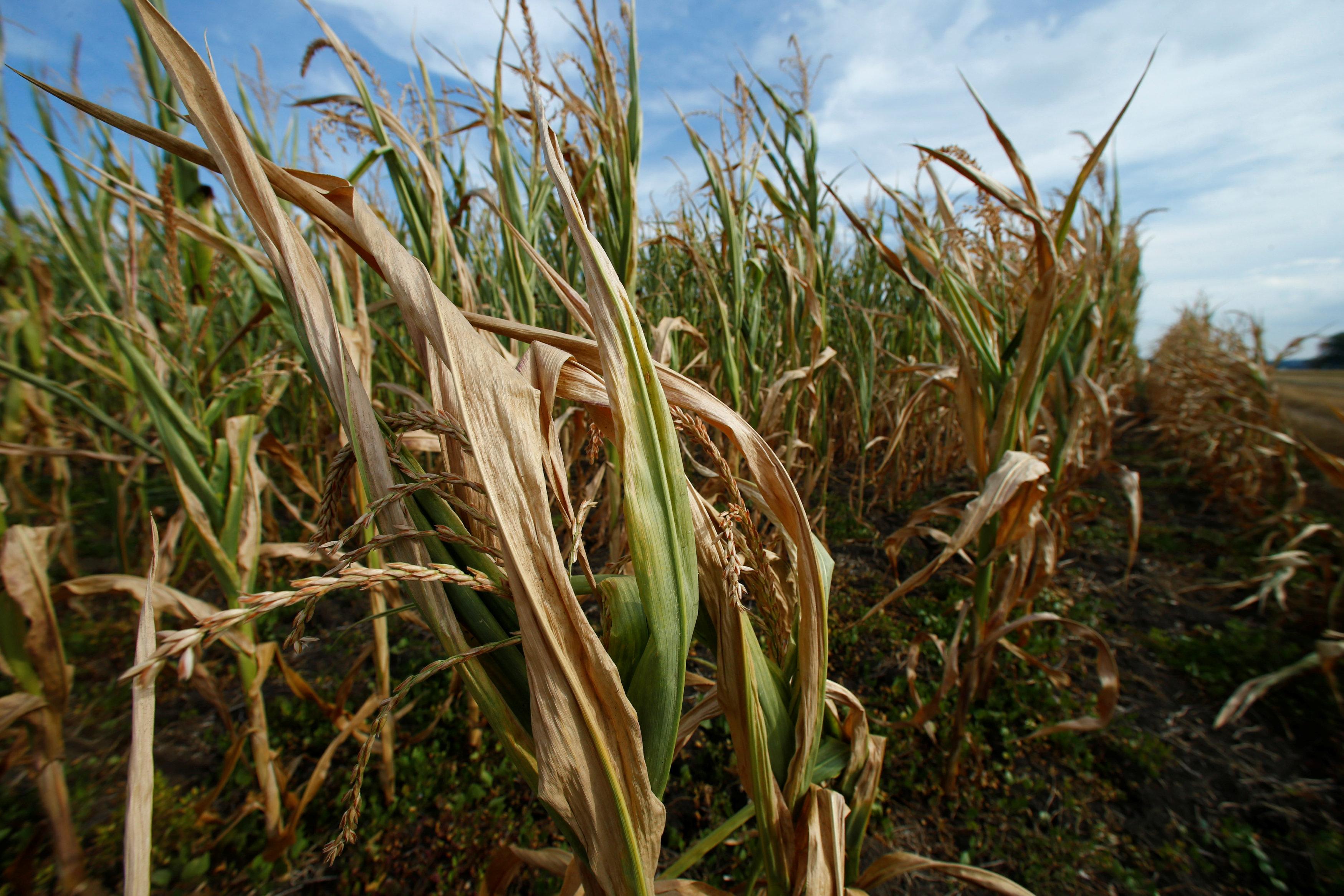 Dried out corn is seen on a field near Geinsheim