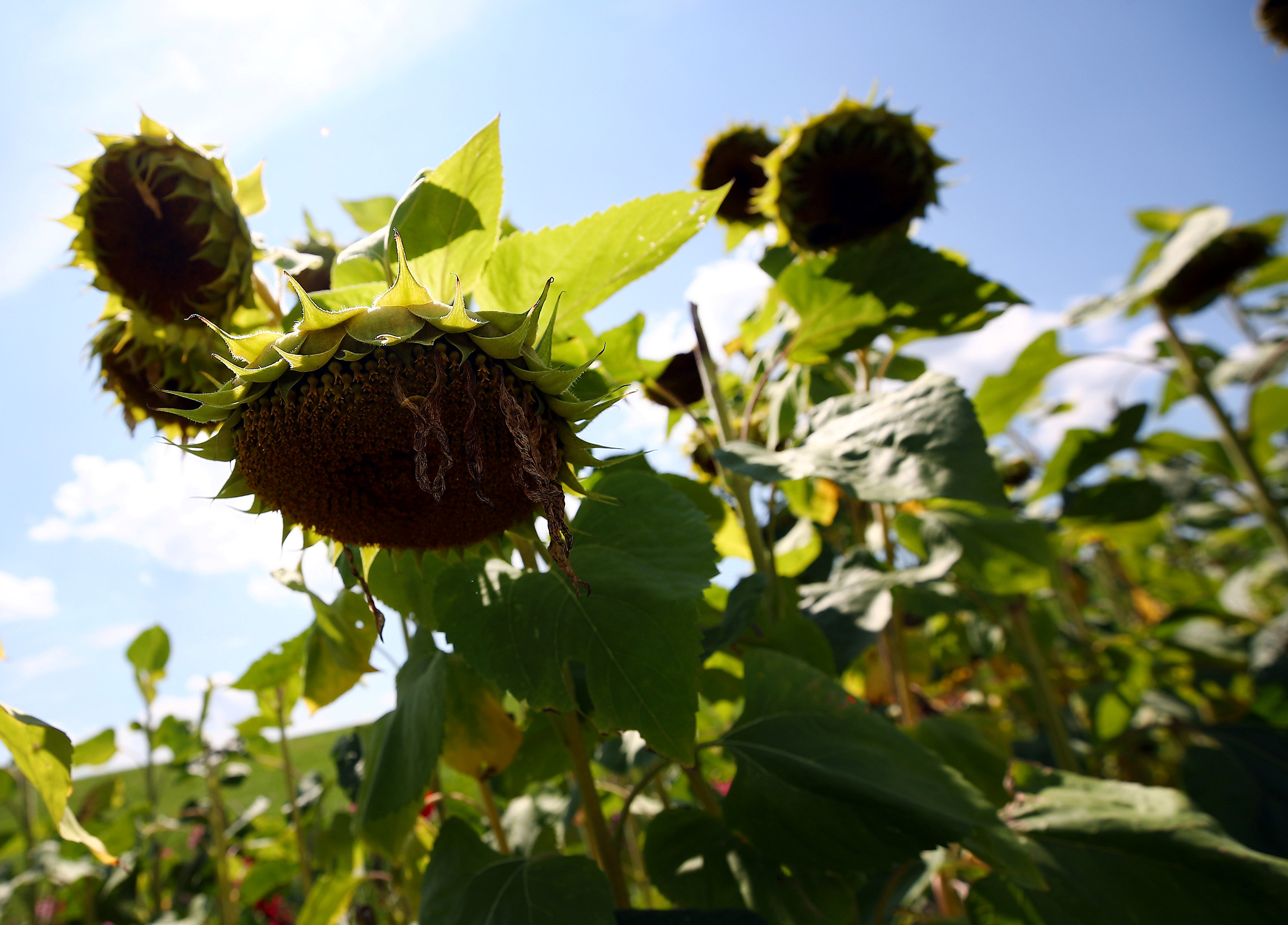 Dried out sunflowers are seen on a field in Holzkirchen near Munich