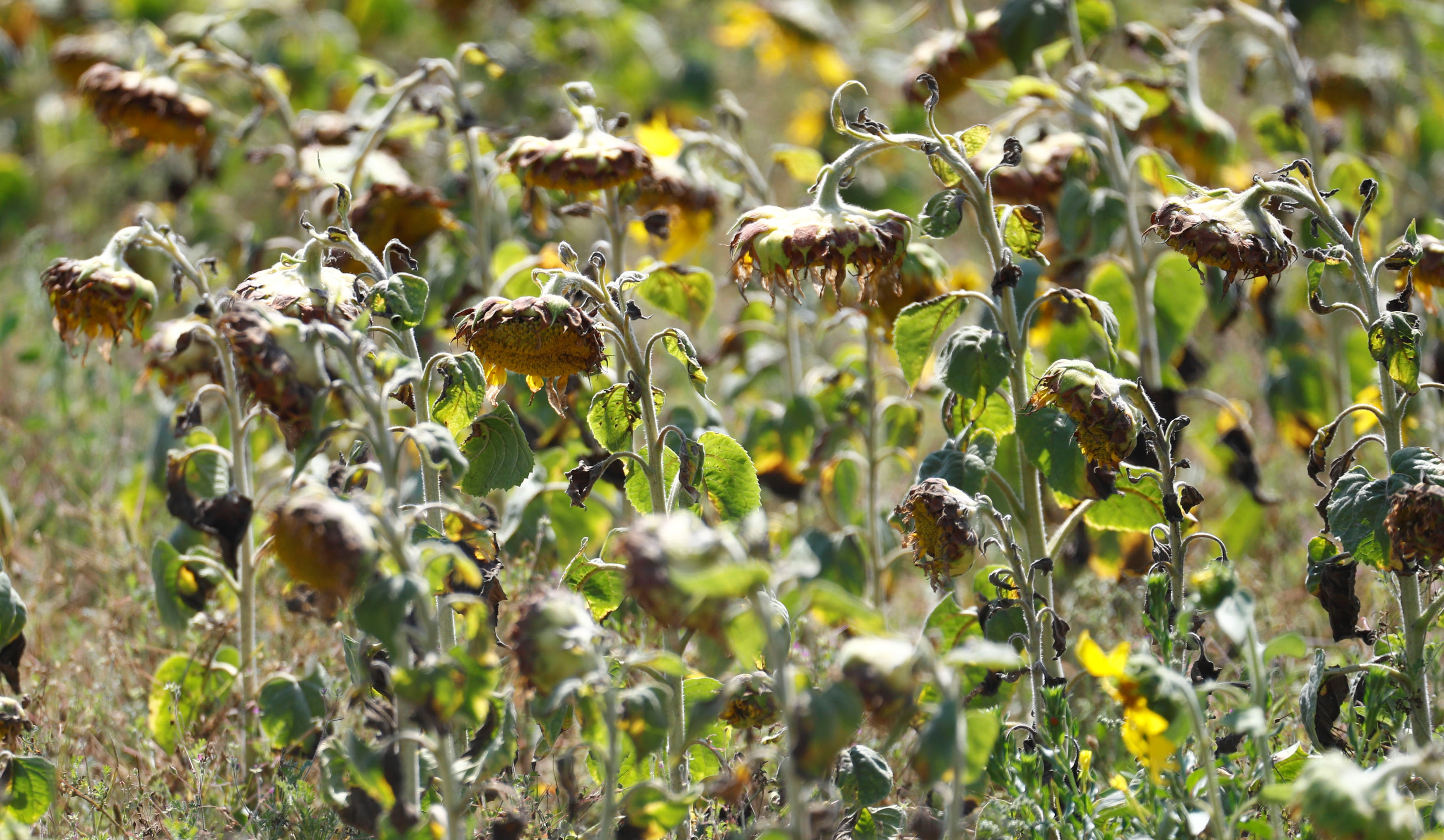 Dried out sunflowers are seen on a field near Breydin