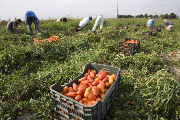Farm workers pick tomatoes in the countryside near the town of Foggia