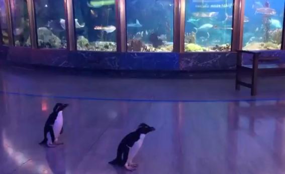 Rockhopper-penguins