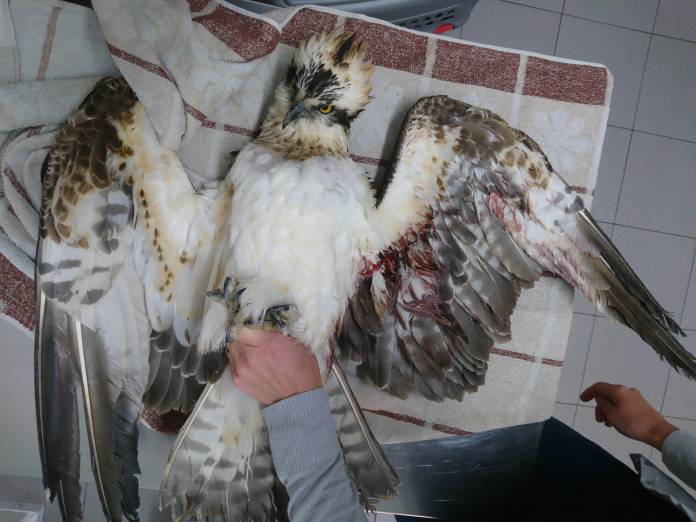 Shot-Osprey-recovered-from-Xagħra-Gozo_Nik-Barbara
