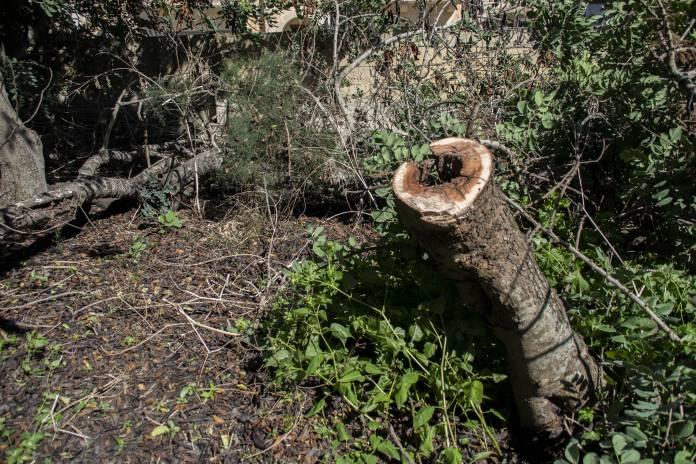 Sigar-tal-Harruba-Carob-Trees-Had-Dingli