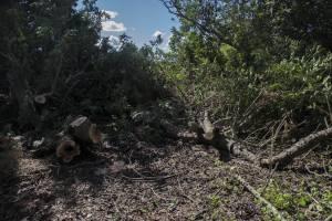 old-carob-trees-cut-down-in-had-dingli