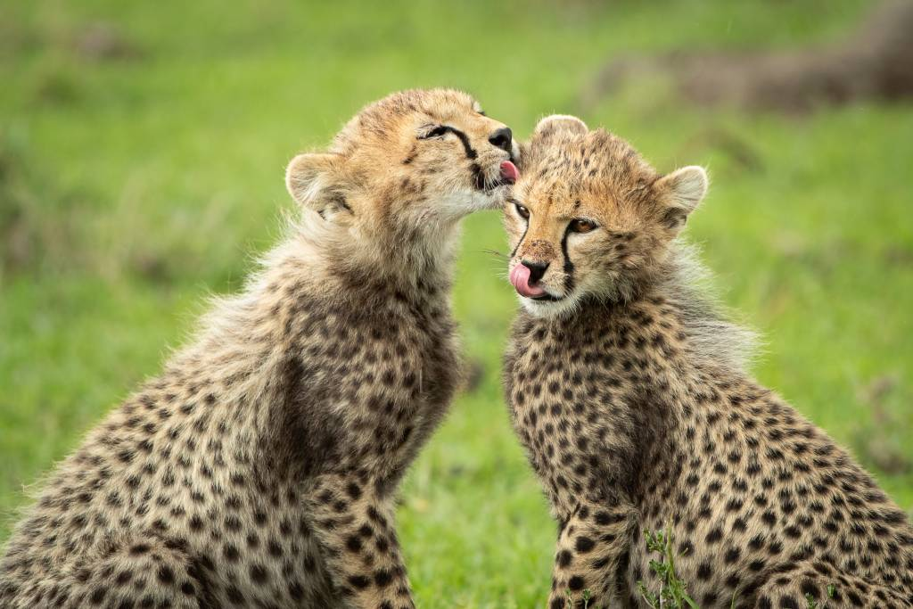 Cheetah-Cubs_AlisonButtigieg